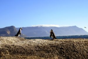 36394-penguins_capetown_downtowngirl