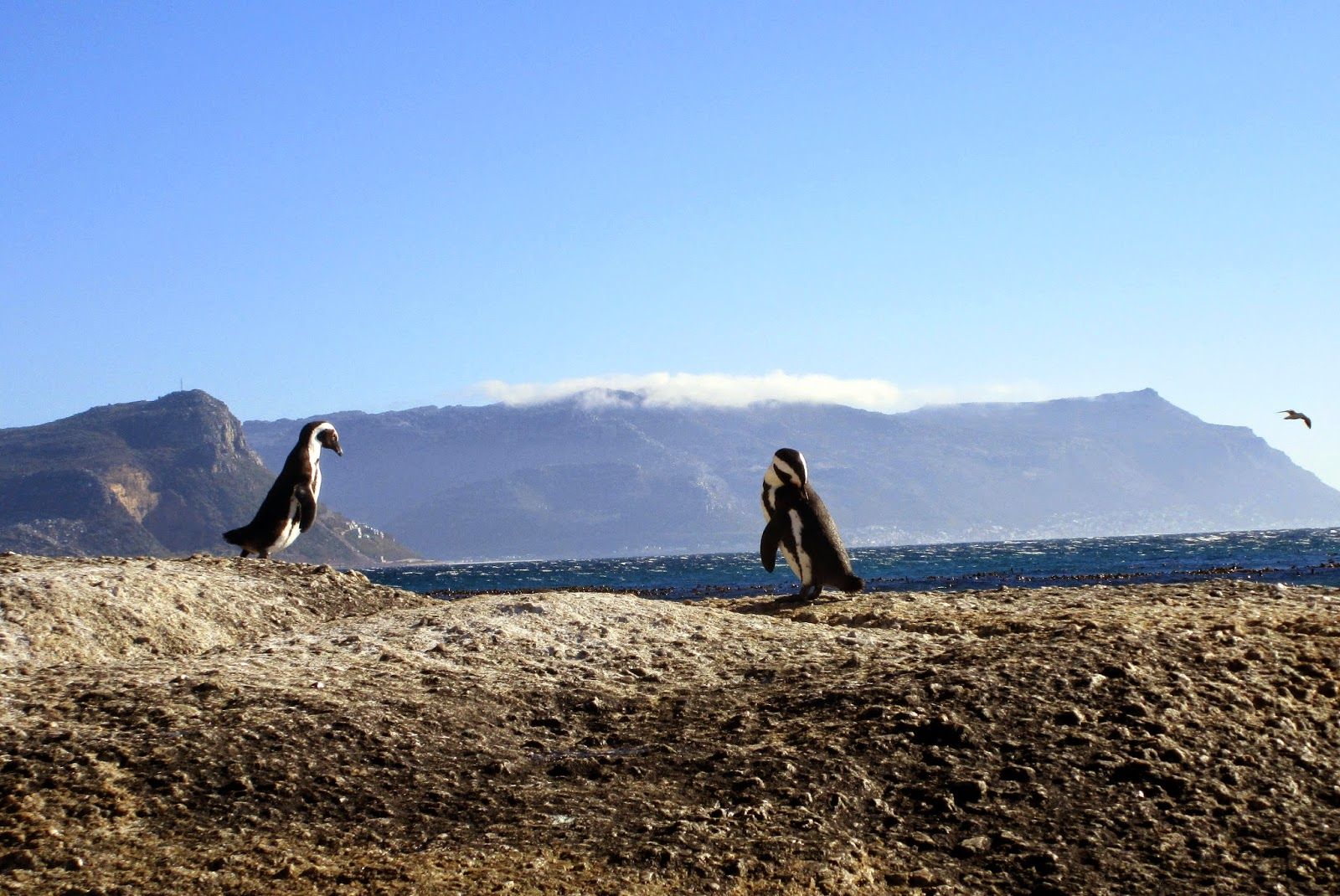 [Travel] Cape Town – Pinguin(plage) am Boulders Beach